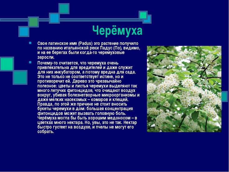 Черёмуха Свое латинское имя (Padus) это растение получило по названию итальян...