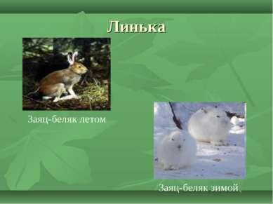 Линька Заяц-беляк летом Заяц-беляк зимой