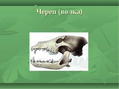 Череп (волка)