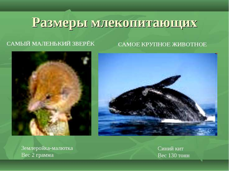 Размеры млекопитающих Землеройка-малютка Вес 2 грамма САМЫЙ МАЛЕНЬКИЙ ЗВЕРЁК ...
