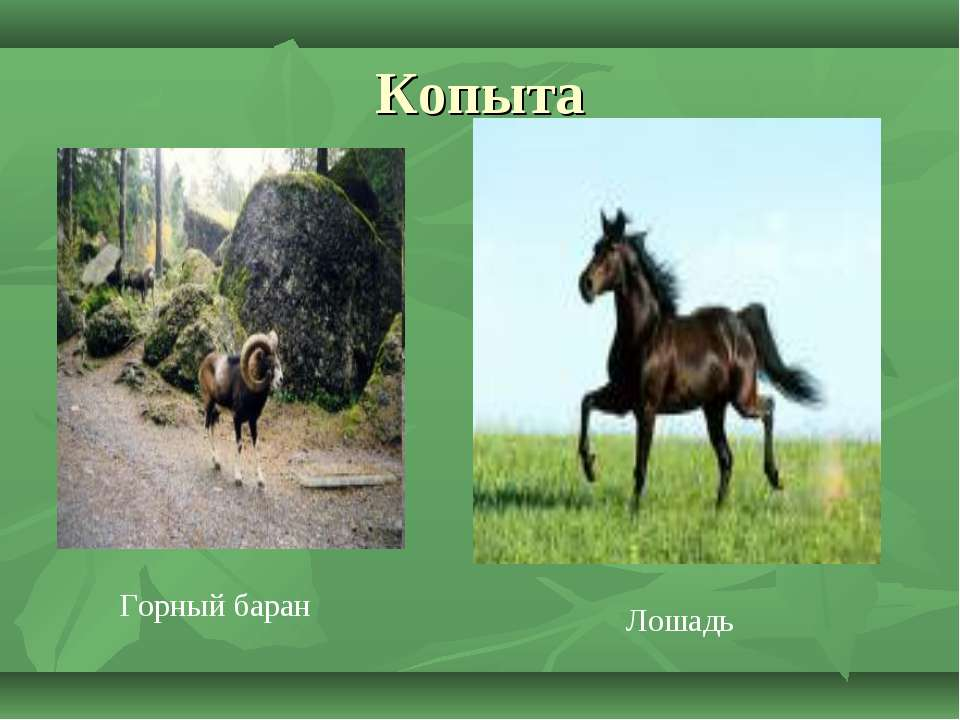 Копыта Горный баран Лошадь