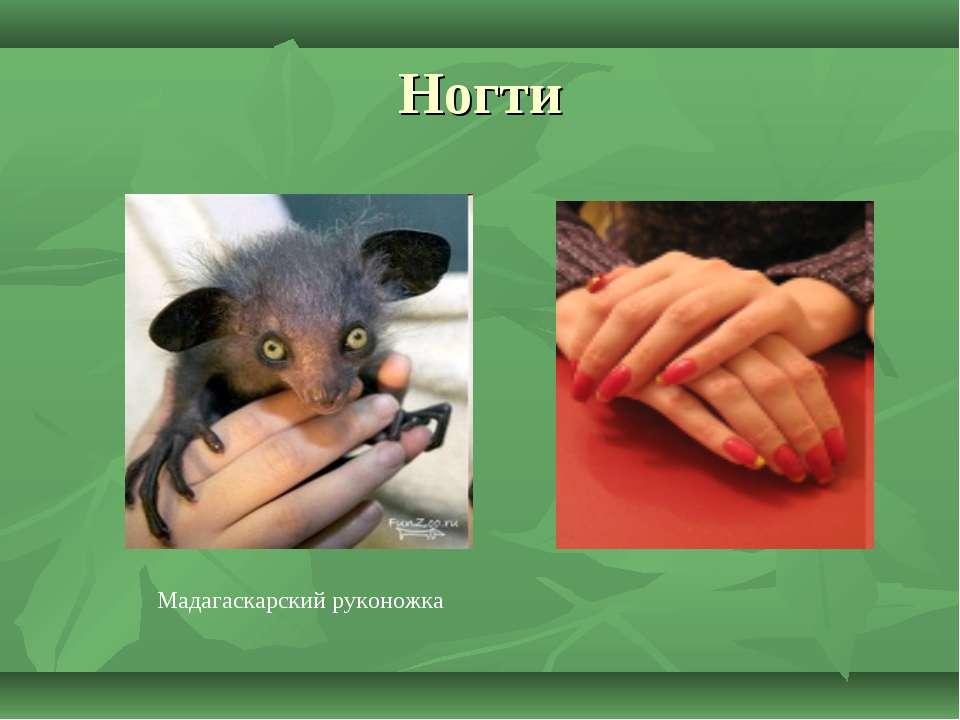 Ногти Мадагаскарский руконожка