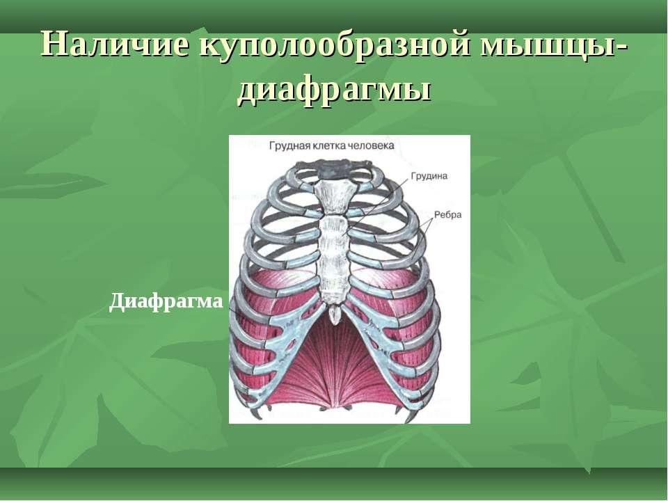 Наличие куполообразной мышцы-диафрагмы Диафрагма