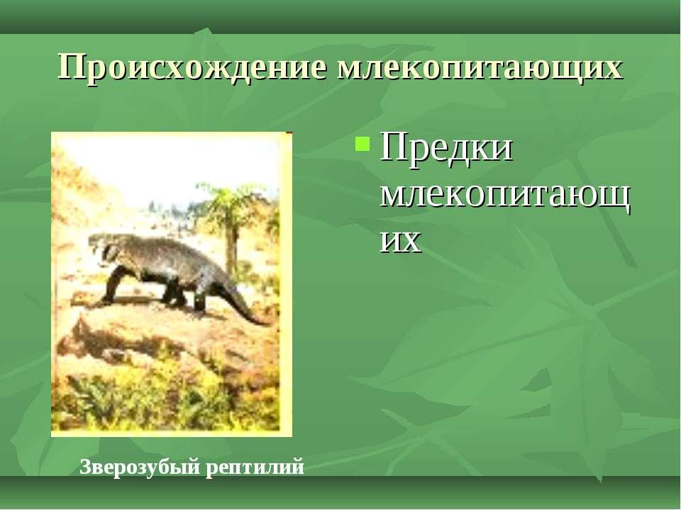 Происхождение млекопитающих Предки млекопитающих Зверозубый рептилий