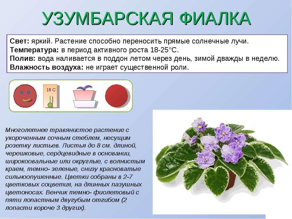 УЗУМБАРСКАЯ ФИАЛКА Многолетнее травянистое растение с укороченным сочным стеб...