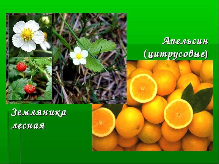 Земляника лесная Апельсин (цитрусовые)