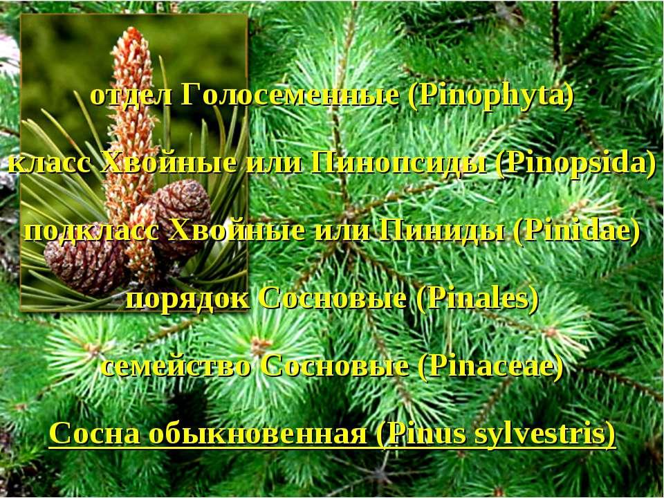 отдел Голосеменные (Pinophyta) класс Хвойные или Пинопсиды (Pinopsida) подкла...