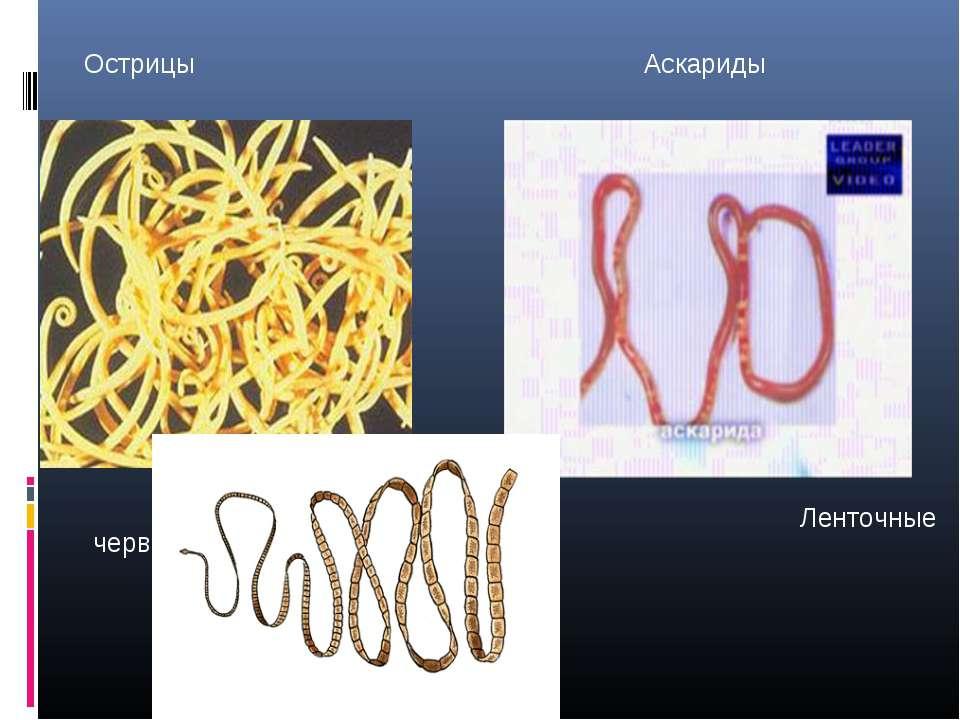 Острицы Аскариды Ленточные черви- цепни