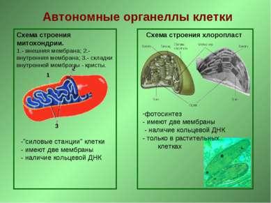 Автономные органеллы клетки Схема строения митохондрии. 1.- внешняя мембрана;...