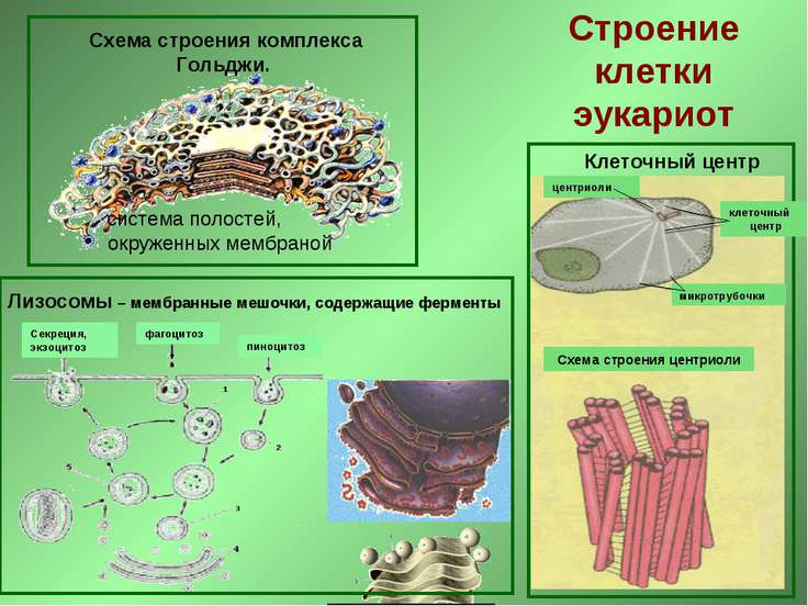 Схема строения комплекса Гольджи. система полостей, окруженных мембраной Клет...