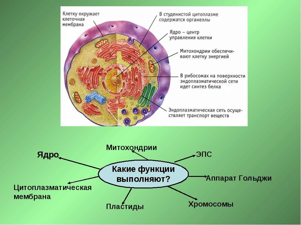 Какие функции выполняют? Ядро Цитоплазматическая мембрана ЭПС Аппарат Гольджи...