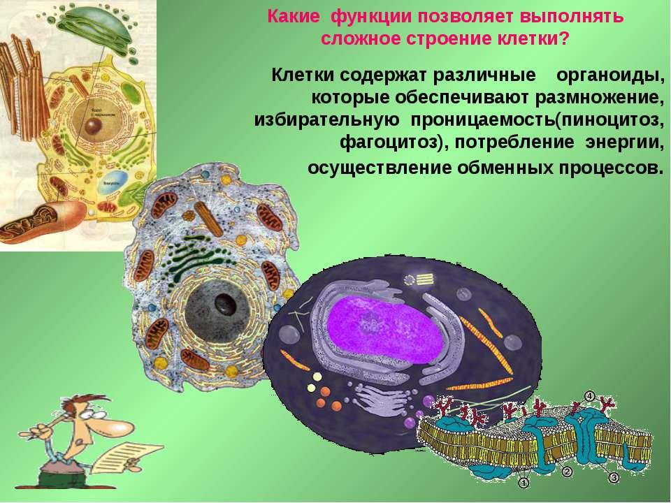 Какие функции позволяет выполнять сложное строение клетки? Клетки содержат ра...