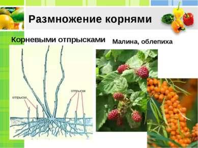 Размножение корнями Корневыми отпрысками Малина, облепиха