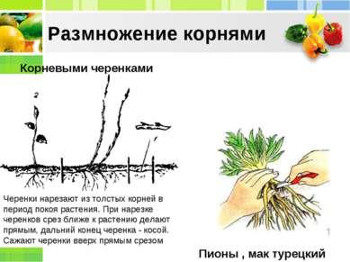 Корневыми черенками Пионы , мак турецкий Размножение корнями Черенки нарезают...