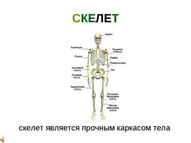 СКЕЛЕТ скелет является прочным каркасом тела
