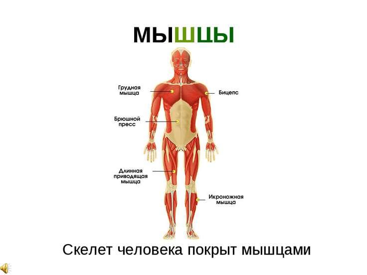 МЫШЦЫ Скелет человека покрыт мышцами