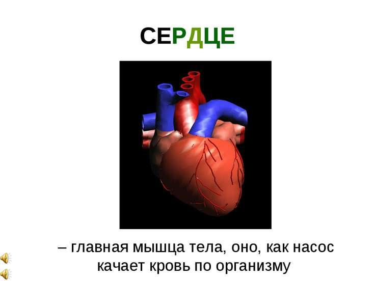 СЕРДЦЕ – главная мышца тела, оно, как насос качает кровь по организму