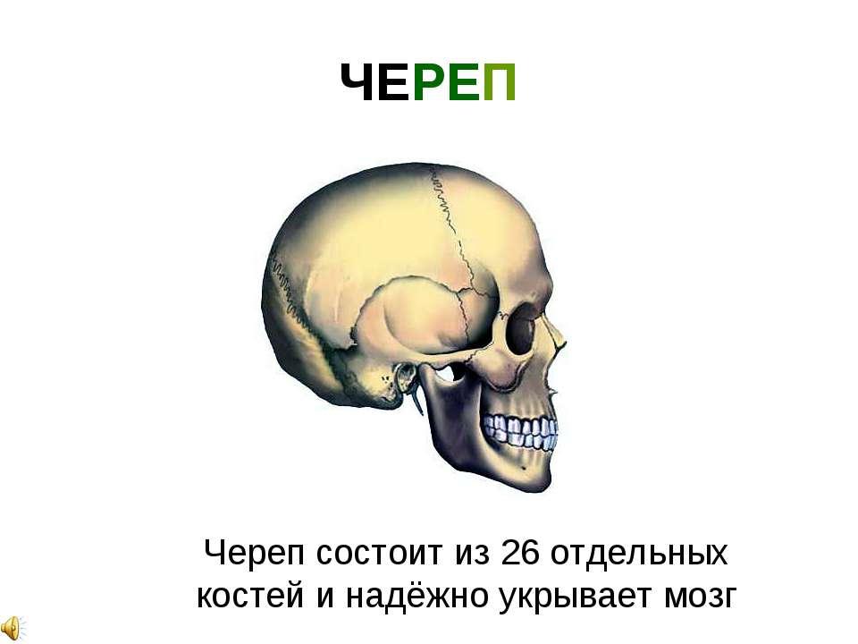 ЧЕРЕП Череп состоит из 26 отдельных костей и надёжно укрывает мозг