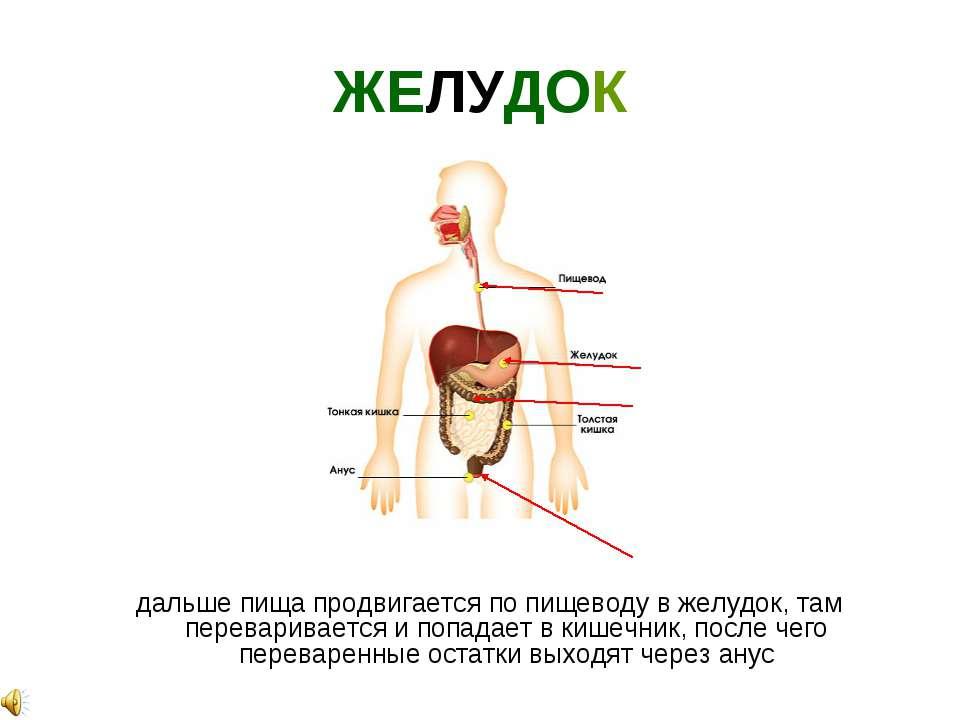 ЖЕЛУДОК дальше пища продвигается по пищеводу в желудок, там переваривается и ...