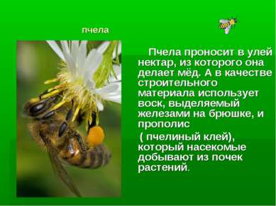 пчела Пчела проносит в улей нектар, из которого она делает мёд. А в качестве ...