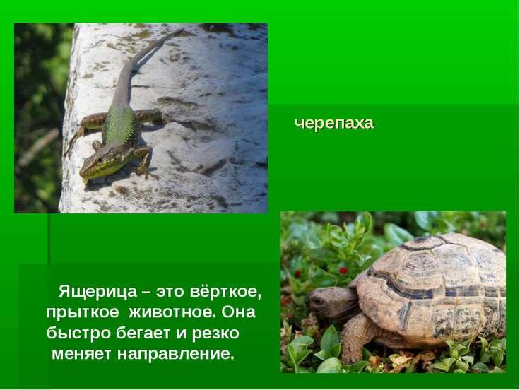 черепаха Ящерица – это вёрткое, прыткое животное. Она быстро бегает и резко м...