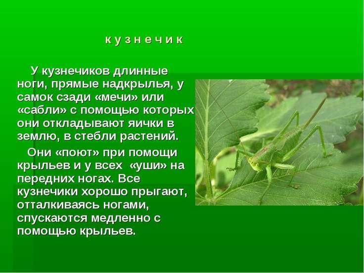 к у з н е ч и к У кузнечиков длинные ноги, прямые надкрылья, у самок сзади «м...