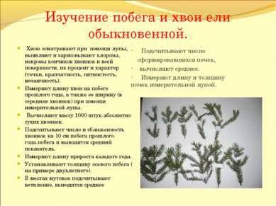 Изучение побега и хвои ели обыкновенной. Подсчитывают число сформировавшихся ...