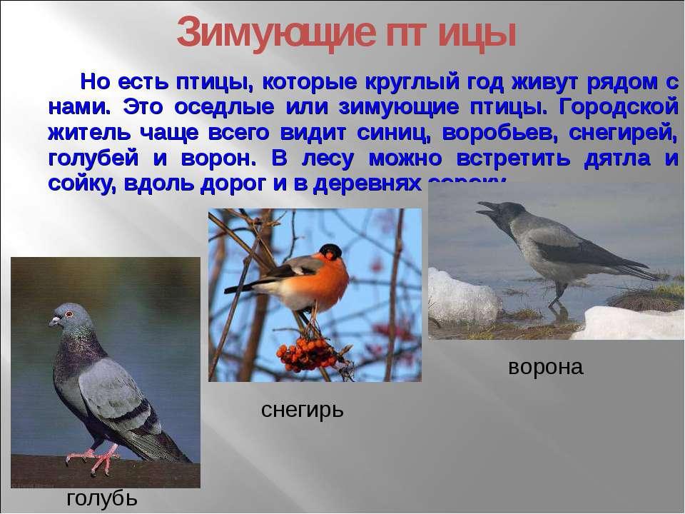 Но есть птицы, которые круглый год живут рядом с нами. Это оседлые или зимующ...