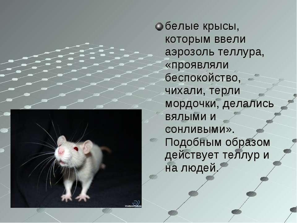 белые крысы, которым ввели аэрозоль теллура, «проявляли беспокойство, чихали,...