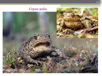 * Серая жаба