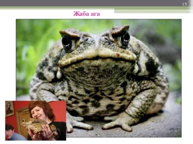 * Жаба ага