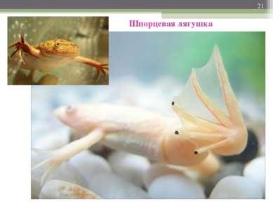 * Шпорцевая лягушка