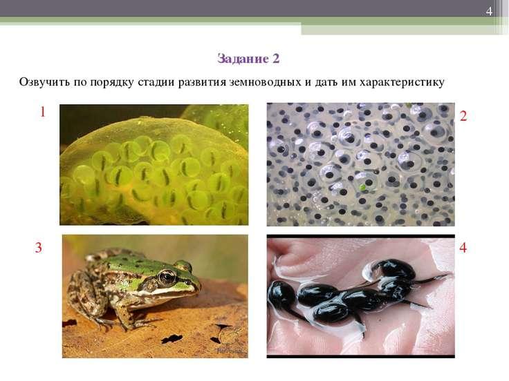 Задание 2 Озвучить по порядку стадии развития земноводных и дать им характери...