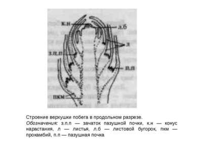 Строение верхушки побега в продольном разрезе. Обозначения: з.п.п — зачаток п...