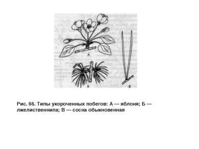 Рис. 66. Типы укороченных побегов: А — яблоня; Б — лжелиственнипа; В — сосна ...