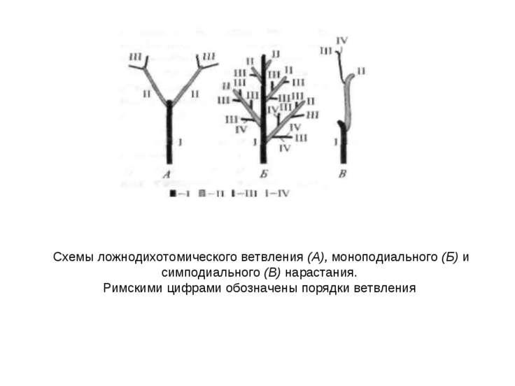 Схемы ложнодихотомического ветвления (А), моноподиального (Б) и симподиальног...