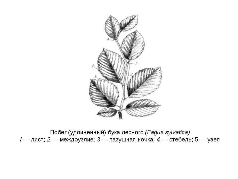 Побег (удлиненный) бука лесного (Fagus sylvatica) / — лист; 2 — междоузлие; 3...