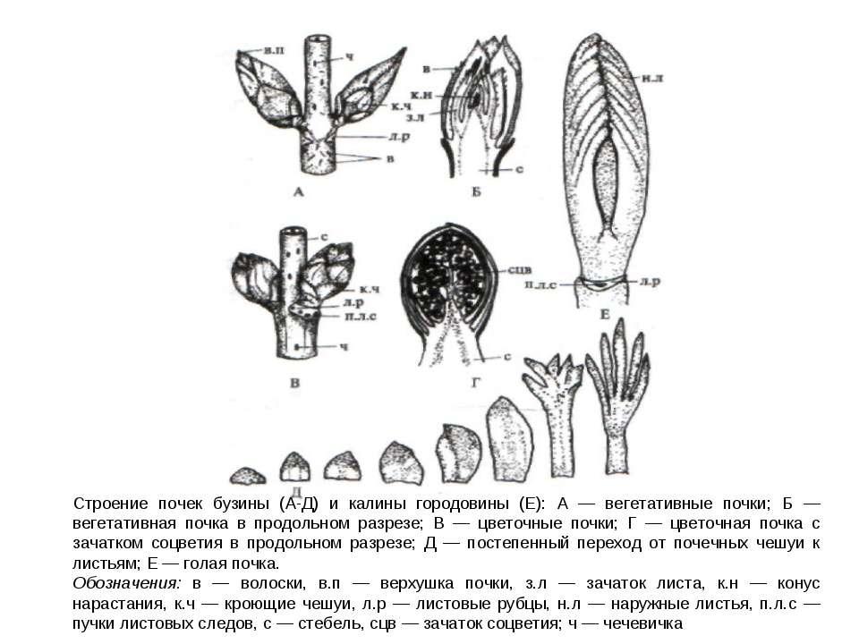 Строение почек бузины (А-Д) и калины городовины (Е): А — вегетативные почки; ...