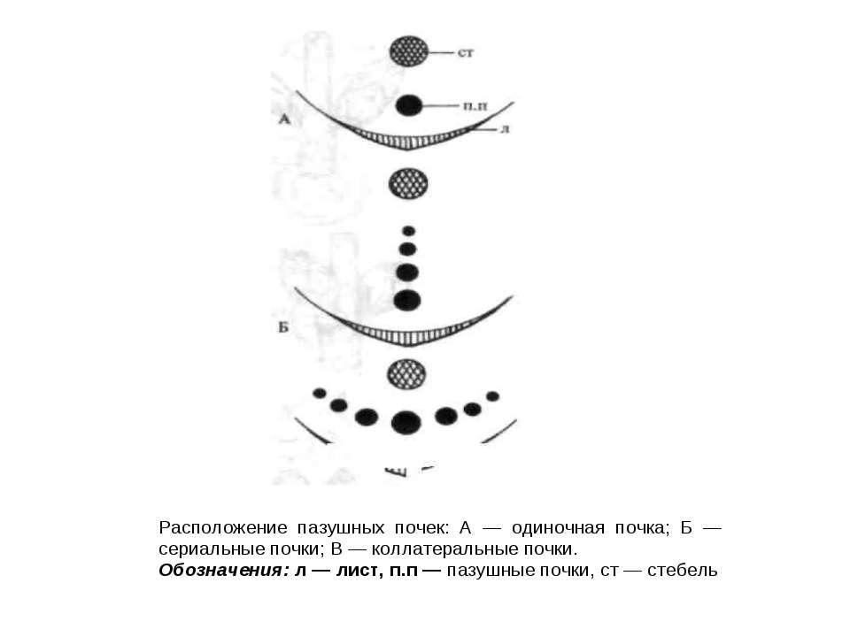 Расположение пазушных почек: А — одиночная почка; Б — сериальные почки; В — к...