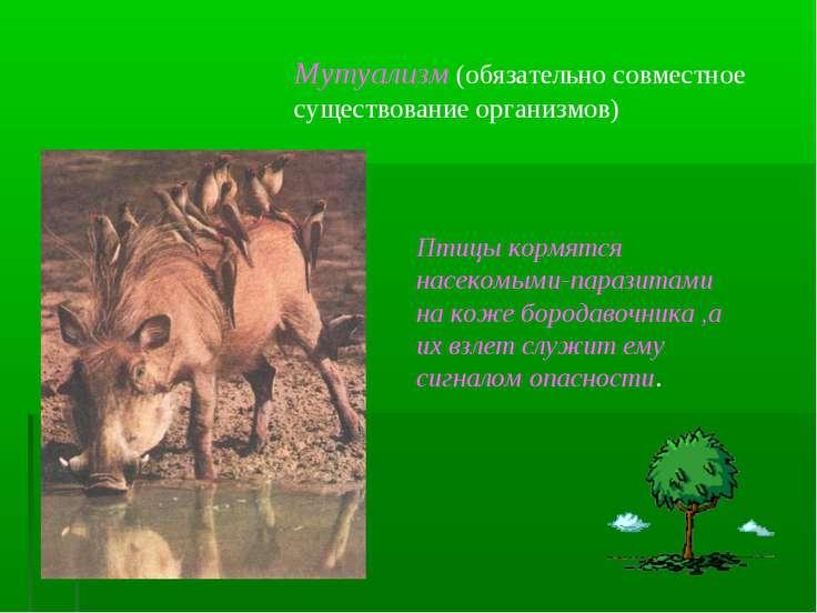 Мутуализм (обязательно совместное существование организмов) Птицы кормятся на...