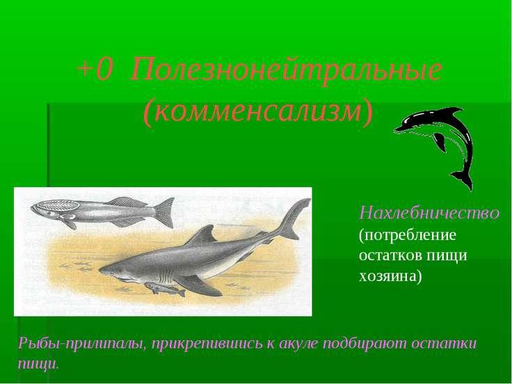 +0 Полезнонейтральные (комменсализм) Нахлебничество (потребление остатков пищ...