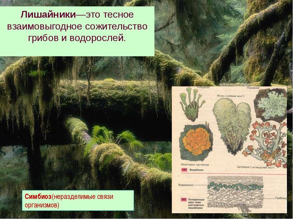 Лишайники—это тесное взаимовыгодное сожительство грибов и водорослей. Симбиоз...