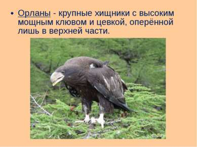 Орланы - крупные хищники с высоким мощным клювом и цевкой, оперённой лишь в в...