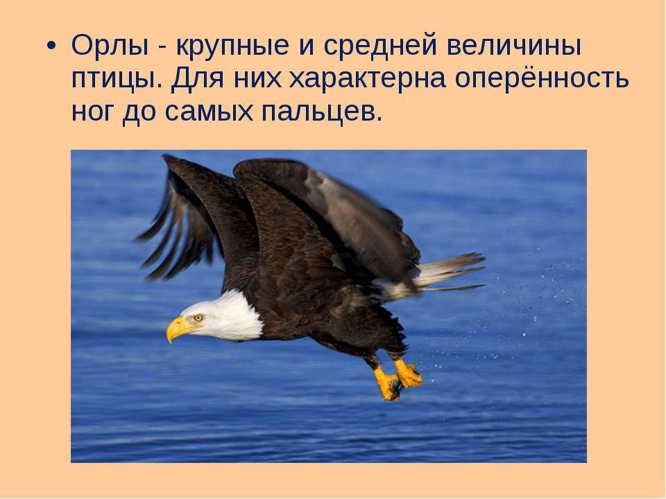 Орлы - крупные и средней величины птицы. Для них характерна оперённость ног д...