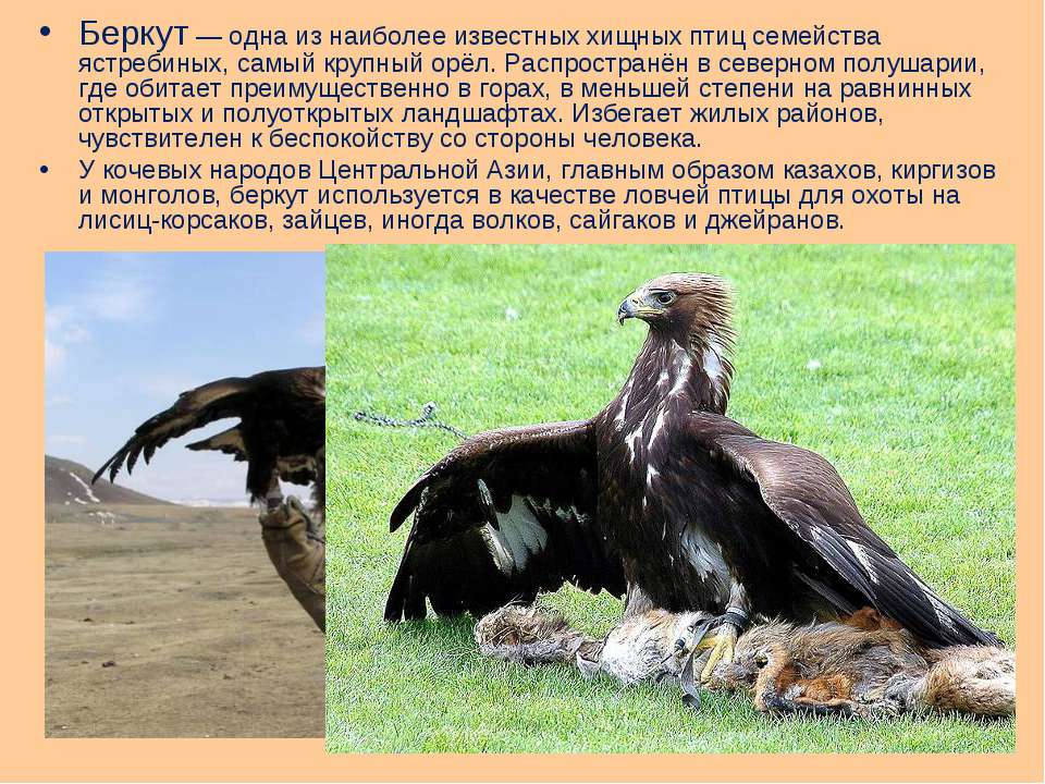 Беркут— одна из наиболее известных хищных птиц семейства ястребиных, самый к...