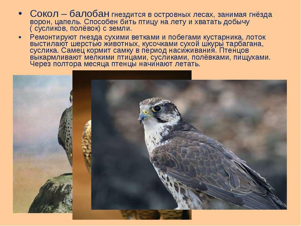 Сокол – балобан гнездится в островных лесах, занимая гнёзда ворон, цапель. Сп...
