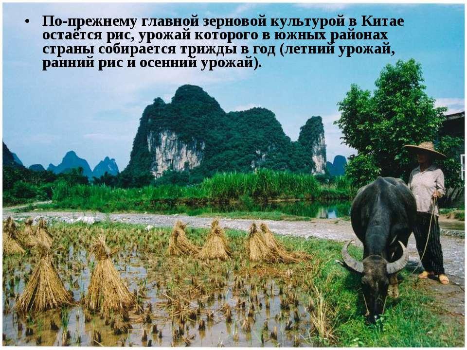 По-прежнему главной зерновой культурой в Китае остаётся рис, урожай которого ...