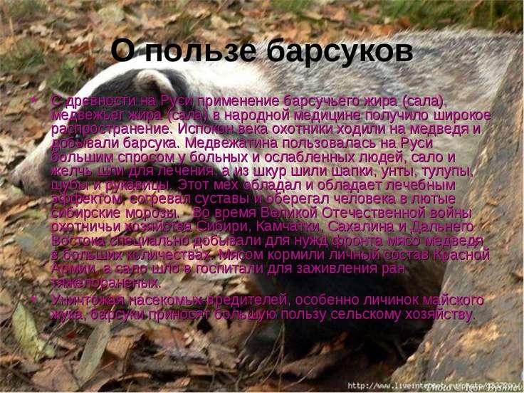 О пользе барсуков С древности на Руси применение барсучьего жира (сала), медв...