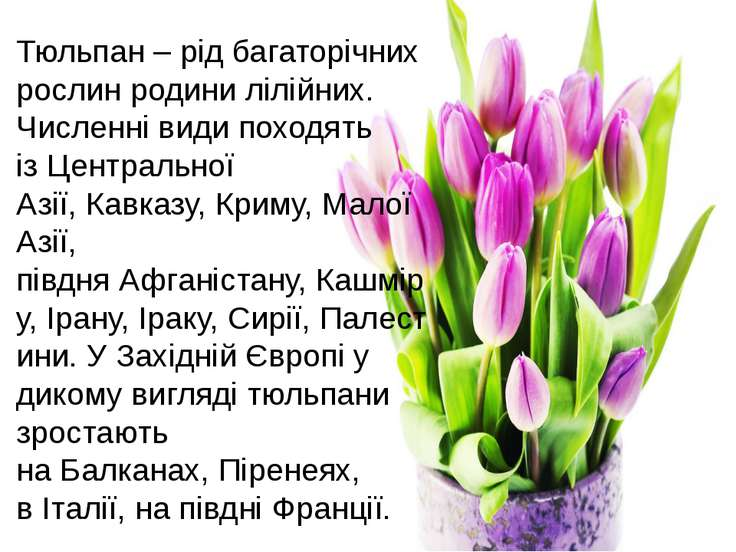 Тюльпан – рід багаторічних рослин родинилілійних. Численні види походять із...