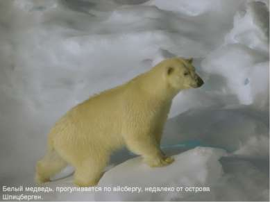 Белый медведь, прогуливается по айсбергу, недалеко от острова Шпицберген.